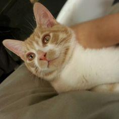 Adoptez /Adopt 3079 - Cheese Puff (Mâle, né approx. en juin 2013 / Male, born approx. June 2013) #adoptable #cat #chat #montreal #verdunluv http://www.refugechatsverdun.com/chats_a_adopter.html#3079