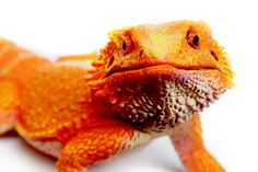 With its rough, pebbly skin, and full-sized length, this Incredible Creatures® Bearded Dragon will make you think you've added a new pet!