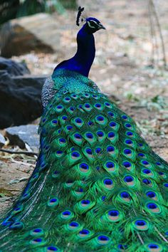 Peacock photo by Trendy Traveler. I want to see a peacock in it's natural habitat ! Pretty Birds, Beautiful Birds, Animals Beautiful, Animals Amazing, Exotic Birds, Colorful Birds, Exotic Animals, Exotic Pets, Colorful Feathers
