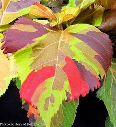What would YOU mix with the amazing colors of 'Jungle Cloak' Acalypha?