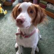 American Brittany Rescue :: Ziggy, New York