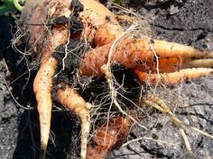 Root-knot nematodes can cause root vegetables, like carrots, to become hairy.