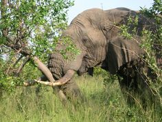 Elephant Pushing Down Tree, Thornybush Game Reserve