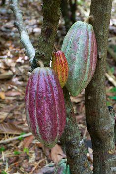 Hawaii is the only state where the chocolate tree grows, and the best place to experience a live chocolate tree orchard is Kauai's Lydgate Farm. Aloha Hawaii, Honolulu Hawaii, Hawaii Travel, Oahu, Poipu Kauai, Hawaii Life, Kauai Coffee, Kauai Vacation, Hanalei Bay