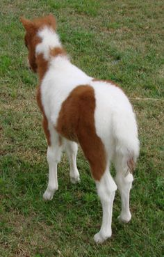 miniature horses for sale - page 205 Miniature Horses For Sale, Dwarf, Goats, Miniatures, Photo And Video, Animals, Animales, Animaux, Animal