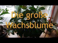 Jedermanns Zimmerpflanze: Die Hoya - YouTube