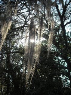Sun shining through Spanish moss-Summerville, SC (My Own)