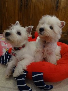 Happy #TerrierTuesday!  Check out our summer polishes at https://www.etsy.com/shop/TawdryTerrier. #tawdryterrier #westie #westhighlandwhiteterrier #terrier #puppy #dog