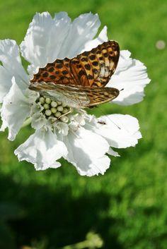 pretty butterfly looks like a leopard
