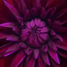 Natures perfection! #flowers #flowerstagram #darkred #velvet #petals #rich #awesome #photooftheday #fromwhereistand #gorgeous #alexandramaybath #alexandramayinspired (at Alexandra May)