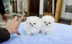 Male & Female White Tea Cup Pomeranian Puppies For Sale - Running Springs free Ads