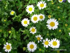 chamomile flower | Chamomile flowers with leaves - little minis to mix in with larger daisies