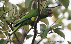 Orange-fronted Parakeet (Aratinga canicularis) On the branches of a tree.
