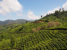 Tea plantations in Munnar, India