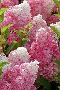 Strawberry Sundae Hydrangea produces a profusion of long-lasting, large, snow cone shape flower clusters that open creamy white and gradually fade to. Strawberry Sundae Hydrangea, Hydrangea Landscaping, Landscaping Trees, Privacy Landscaping, Landscaping Design, Diy Jardin, Hydrangea Paniculata, Hydrangea Care, Large Plants