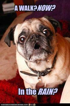Haha - pugs don't like the rain