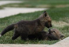 Post with 1565 votes and 390580 views. Baby foxes: My college's unofficial mascots Pet Fox, Little Fox, Animal Pictures, Animals Photos, Cute Creatures, Four Legged, Brown Bear, Cute Baby Animals, Animals Beautiful