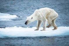 Starving Polar Bear Is the Face of the Future. Whether or not climate change was the reason the animal in this photo was dying, it remains single biggest threat to the species' survival. | TakePart