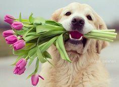 Golden Retriever, Labrador Retriever, Pink Tulips, Animals And Pets, Dog Cat, Cats, Furniture Ideas, Cottage, Yoga