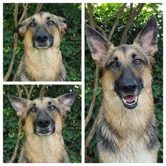 The many emotions behind a bath. German Shepherd Pictures, German Shepherds, Bath Time, Times, Twitter, German Shepherd Dogs, Shepherd Dogs