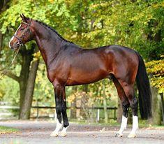 Zangersheide sport horse stallion, Chellsini Z.