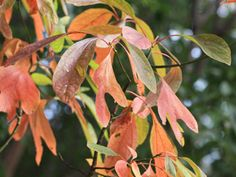 GEORGIA NATIVE - Sassafras Albidum - Good for hillside - attracts birds and butterflies - at Nearly Native Nursery Farm Landscaping, Seed Bank, Sun And Water, How To Attract Birds, Walk In The Woods, Trees And Shrubs, Small Gardens, Native Plants