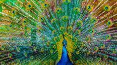 Pavo Cristatus - Pavo cristatus at Zoo Wallpaper Keren, Follow The Leader, Peacock Art, Tropical Colors, Wild Birds, In This Moment, Photography, Madness, Birds Photos