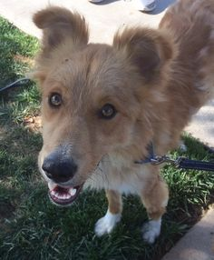 Artie is an adoptable golden retriever searching for a forever family near Newport Beach, CA. Use Petfinder to find adoptable pets in your area.