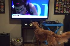 Dog Gets Excited Watching Serena Williams Vs. Venus Williams in U.S. Open | WOOFipedia by The American Kennel Club