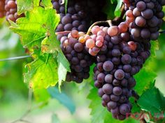 Want to go on a day trip or weekend getaway and enjoy a great wine tasting? NJ has plenty of vineyards, wineries and wine bars to discover. Wine Tasting Course, Wine Tasting Notes, Fruit Bearing Trees, Sacred Garden, Vides, Grape Seed Extract, Agriculture Biologique, Wine Deals, Still Life
