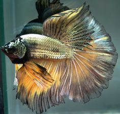AquaBid.com - ***Yellow-Copper***HM-Male***