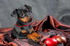 #Zwergpinscher puppy #cani