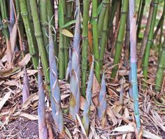 This new cultivar of P. aurea has unusually blue new shoots which retain their pastel color for about 9 months out of the year from spring until late fall.  During the winter they usually fade to green but are soon followed by new shoots next spring. So far they do not seem to be quite as hardy as the species. Regular Phyllostachys aurea also has bluish new shoots but not a bright as those of P. aurea 'Dr. Don'.