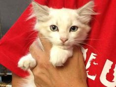 Shine is an adoptable Ragdoll Cat in Bastrop, TX. My name is Shine, aren't I just the prettiest girl around? I am a Ragdoll Mix kitten, who is longing for a family to call my own. I have beautiful blu...