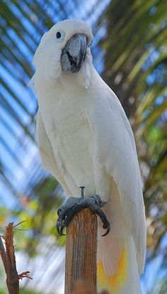 Cockatoo, Torola, BVI