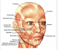 A look at facial anatomy, face muscles, the skull, facial proportions and symmetry. Facial anatomy for makeup artists. Facial Muscles Anatomy, Skin Anatomy, Anatomy Of The Face, Anatomy Study, Anatomy Drawing, Anatomy App, Human Muscle Anatomy, Anatomy Reference, Muscles Of The Face