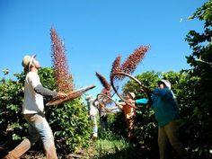 Peneirando o café (anos 1930 - 1970) em plantação de Rolândia, estado do Paraná, Brasil.  Fotografia: José Carlos Farina.
