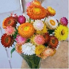 Strawflower (Helichrysum) - the best flowers to dry