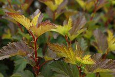 Physocarpus 'Center Glow'