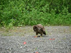 Life of a juvenile Bald Eagle eating left overs from the local salmon in the Situk River Alaskan Vacations, Fishing Techniques, Fishing Charters, Salmon Fishing, Lodges, The Locals, Bear, River