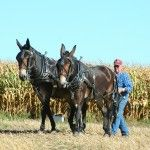 Farm Animals, Animals And Pets, Draft Mule, Mules Animal, Field Day, Draft Horses, Donkeys, Old West, Livestock