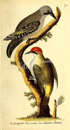 Eurasian Green or Iberian Woodpecker      ...