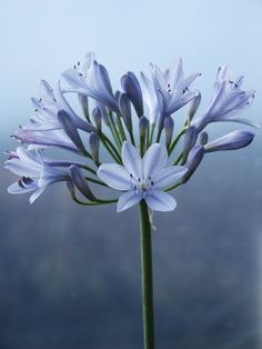 Agapanthus... We had tons of these in our garden in Cali when I was little