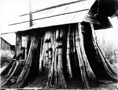 hese trees were used as timber for building supports, furniture, almost anything you can think of. Trees that have been around for hundreds maybe of thousands of years were harvested. Today, the only the only record of these Ancients are a collection of photographs by Darius Kinsey and his wife Tabitha Kinsey.