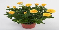 Saksıda Gül Bakımı Nasıl Yapılır? Indoor Flowering Plants, Rose Vase, Beautiful Fantasy Art, Plant Nursery, Small Farm, Poinsettia, Planting Flowers, Potted Flowers, Hibiscus