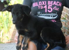 Meet Sydney 22761, a Petfinder adoptable German Shepherd Dog Dog | Prattville, AL | Sydney is a 3-month-old female German Shepherd mix. She is black with brown markings and a very...