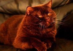 Chubby Choco Cinnamon Cat
