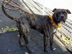 TO BE DESTROYED - 11/02/13  Manhattan Center - P   My name is KING. My Animal ID # is A0983104.  I am a male brown and black pit bull mix.  STRAY on 10/25/2013  JUST A BABY @ 1 YEAR. King is calm in his kennel, friendly and gentle. He is leashed easily but pulls like a horse once out. King comes when called and even sits by my side for caresses. Come, meet King, fall in love and take him home.