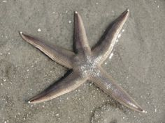 I saw this starfish lying on the beach on the first beach walk I took. Starfish are survivors. Check out today's post. :)