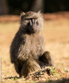 Juvenile olive baboon (Papio anubis) at 2,150 m asl in Mount Elgon National Park, western Kenya. Photograph by Yvonne de Jong & Tom Butynski.